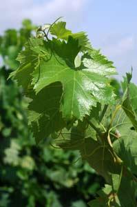 vigne-domaine